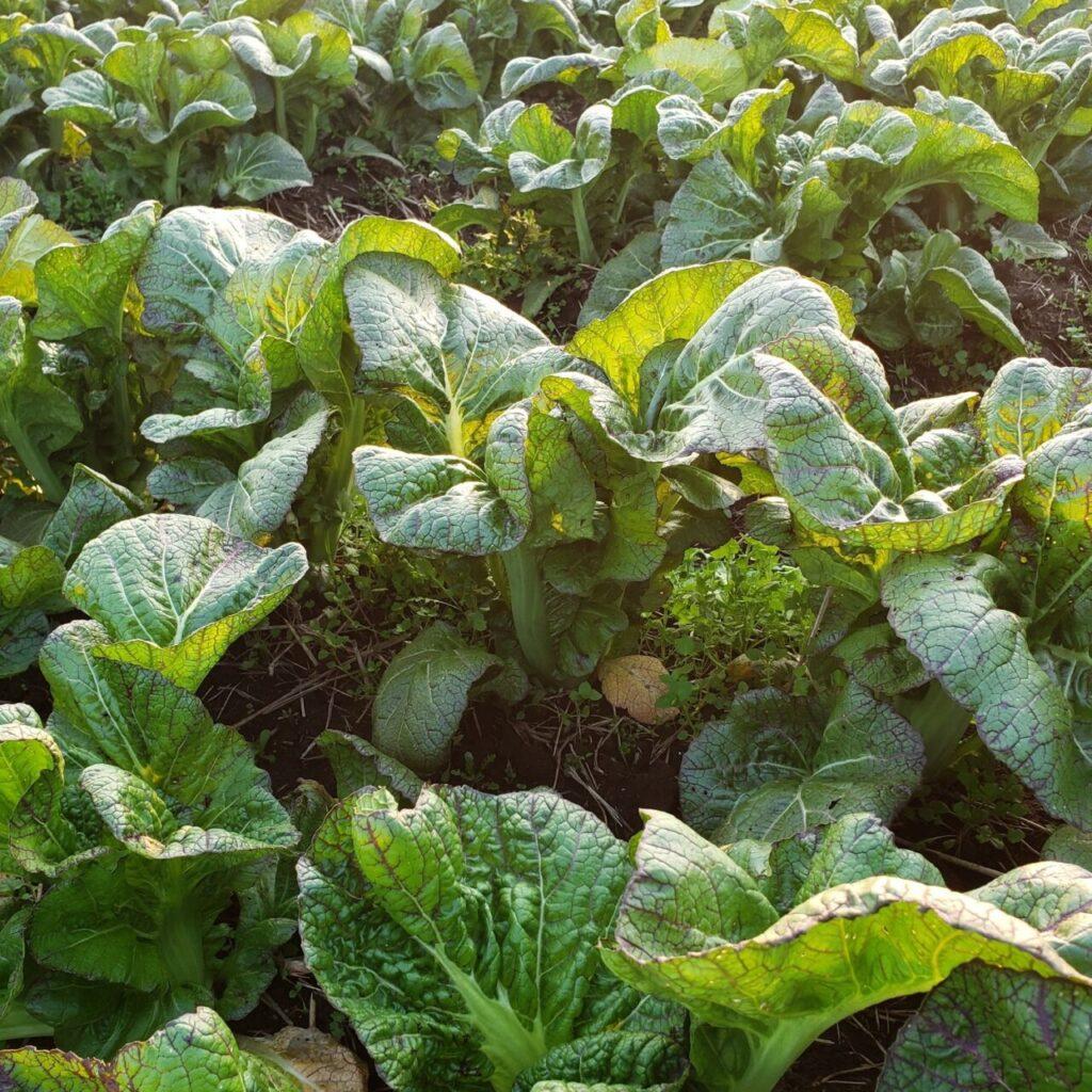 高菜(漬物)と健康機能と成分